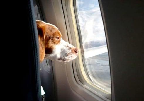 Vuelos a Guatemala Perro en avión.jpg