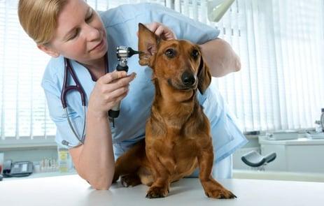 Vuelos a Guatemala Perro en el veterinario.jpg