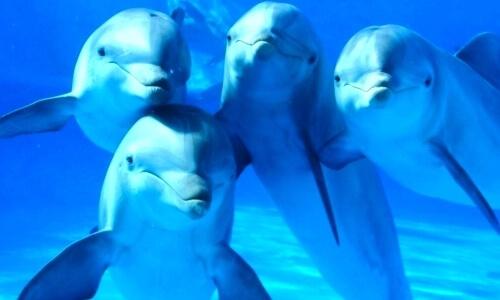 vuelos a Roatán Grupo de delfines.jpg