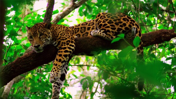 Vuelos a Belice, Jaguares.jpg