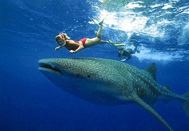 Nadar con tiburones roatan